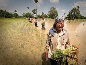 Rice production in Laos - Laotian women planting rice seedlings near Sekong