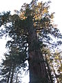 A late afternoon in Tuolumne Grove IMG 4193.jpg