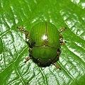 A leaf beetle (15443328367).jpg