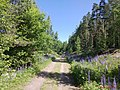 A summer road through the woods - panoramio.jpg