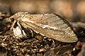 Abantiades latipennis.jpg