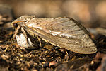 A medium-sized brown moth with its wings folded.
