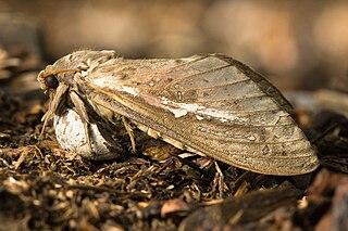 <i>Abantiades latipennis</i> Species of moth