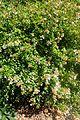 Abelia × grandiflora kz3.jpg