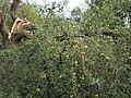 Abgebrochener Ast an Apfelbaum während Trockenheit im August 2018, Streuobstwiese Giessen-Wieseck, 2018-08-21.jpg