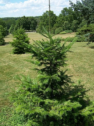 Abies nephrolepis - Image: Abies nephrolepis