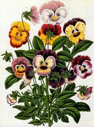 Abraham Jacobus Wendel - Viola tricolor by A.J. Wendel