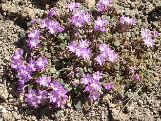 Abronia alpina - Image: Abronia alpina (Ramshaw Meadows sand verbena)