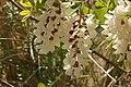 Acacia (5638173542).jpg