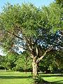 Acacia cartechu TSV 1246.JPG