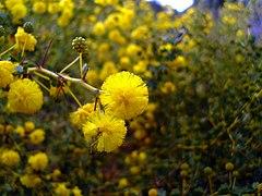 Acacia pulchella.jpg