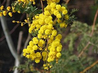 <i>Acacia spectabilis</i> species of plant