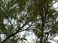 Acanthiza reguloides (5413064360).jpg