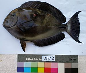 Marcus Elieser Bloch - Acanthurus blochii, a fish named after Bloch by Achille Valenciennes in 1835, an example of animal named in his honour