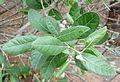 Acca sellowiana kz1.JPG