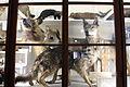 Accademia dei fisiocritici, sezione di zoologia 04 lupi.JPG