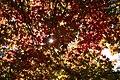 Acer palmatum 'Osakazuki' JPG2a.jpg