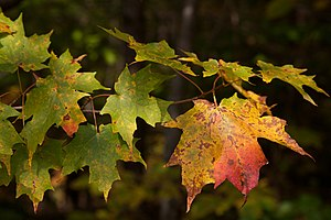 Acer saccharum leaves, Green Mountain National Forest.jpg