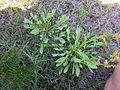 Acetosella vulgaris plant7 (11507832074).jpg