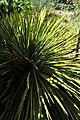 Aciphylla aurea kz01.jpg