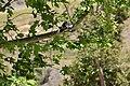 Acorn Woodpecker, Irvine Regional Park, Orange Co, California (51156302068).jpg