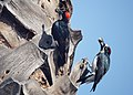 Acorn Woodpeckers (16003196279).jpg