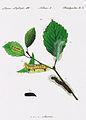 Acronicta.leporina.from.Huebner.Geschichte.europäischer.Schmetterlinge.jpg