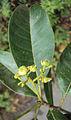 Acronychia pedunculata 29.JPG