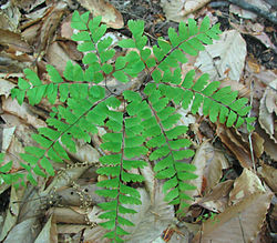 Adiantum pedatum - maidenhair fern - desc-foliage top view.jpg