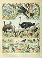 Adolphe Millot oiseaux D.jpg