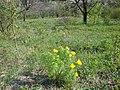 Adonis vernalis 1.jpg