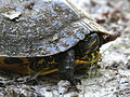 Adult Red-Eared Slider.jpg