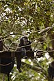 Adult lion-tailed macaque looking at the electrocuted infant in Valparai DSC 2535.jpg