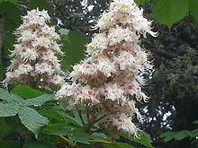 Aesculus hippocastanum fiori