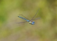 Aeshna affinis qtl4.jpg