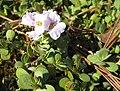 Aethionema rotundifolium 01.jpg