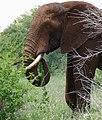 African Elephant (Loxodonta africana) bull ... (46702686234).jpg