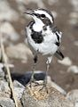 African Pied Wagtail, Motacilla aguimp in Kruger National Park (12148241616).jpg