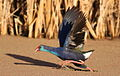 African Purple Swamphen, Porphyrio porphyrio at Marievale Nature Reserve, Gauteng, South Africa. (15135363878).jpg