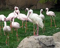 African Spoonbill2