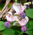 Akebia quinata. Ornamental flowering climber.... older flower - Flickr - gailhampshire.jpg