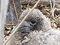 Albatross birds - Espanola - Hood - Galapagos Islands - Ecuador (4871641562).jpg