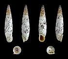 Albinaria brevicollis 01.JPG