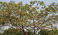 Albizia lebbeck (Siris) in Hyderabad W IMG 7166.jpg