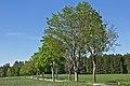 Allee entlang der LH 61 bei Heinreichs 2014-05 01 NÖ-Naturdenkmal WT-062.jpg
