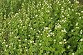 Alliaria petiolata PID799-2.jpg