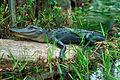 Alligator in the Okefenokee.jpg