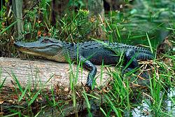 Mladý aligátor severoamerický v bažině v Georgii, USA.
