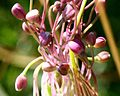 Allium carinatum ENBLA08.jpg