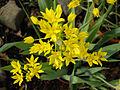 Allium moly 1.JPG